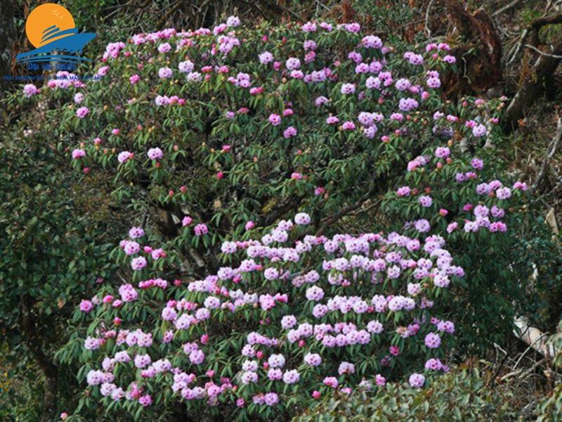 hoa do quyen 1